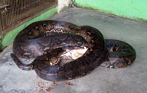 Reticulated python - A specimen in captivity eating a chicken