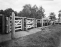 Queensland State Archives 1860 Beef cattle pastures and stock yards December 1955.png
