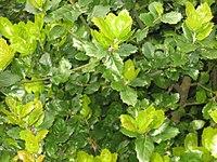 Quercus agrifolia foliage