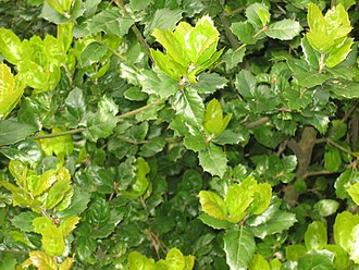 Quercus agrifolia - Coast live oak foliage with new spring growth