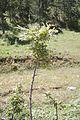 Quercus cerris I.jpg