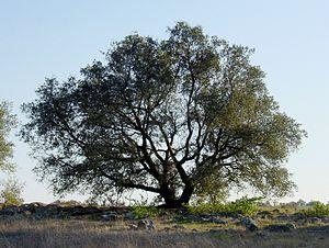 Quercus engelmannii - Image: Quercus englmannii sillouette