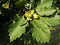 Quercus petraea 02.jpg