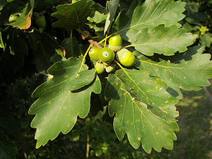 Quercus petraea - Shoot with leaves and acorn
