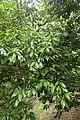 Quercus sessilifolia kz05.jpg