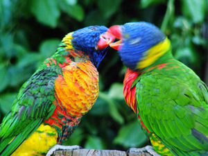 English: Rainbow Lorikeets (Trichoglossus haem...