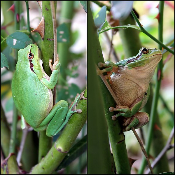 Two views of a Mediterranean tree frog (Hyla meridionalis)