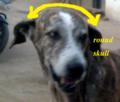 Ramanathapuram mandai dog identity with round skull.png
