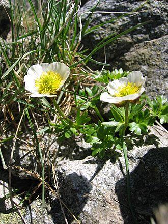 Ranunculus - Glacier buttercup Ranunculus glacialis