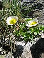 Ranunculus glacialis.jpg