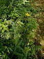 Ranunculus lingua001.jpg