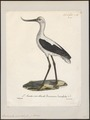 Recurvirostra orientalis - 1825-1834 - Print - Iconographia Zoologica - Special Collections University of Amsterdam - UBA01 IZ17400173.tif