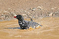 Red-billed Buffalo-weaver (Bubalornis niger) bathing (16332472090).jpg