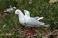 Red-billed Gull - New Zealand (24377114917).jpg