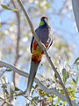 Red-capped Parrot, Blackadder Wetland 3b.jpg