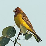 Red-headed bunting (Emberiza bruniceps) male non-breeding plumage.jpg