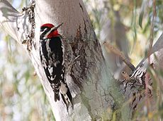 Red-naped Sapsucker.jpg