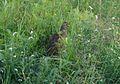 Red-necked Spurfowl.( R.N Francolin).Francolinus afer - Flickr - gailhampshire.jpg