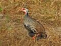 Red-necked Spurfowl - Pternistis afer, Gorongosa National Park, Mozambique (44137857440).jpg