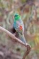 Red-rumped Parrot (Psephotus haematonotus) (8079604808).jpg