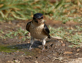 Red-rumped swallow - Collecting mud for nest in India