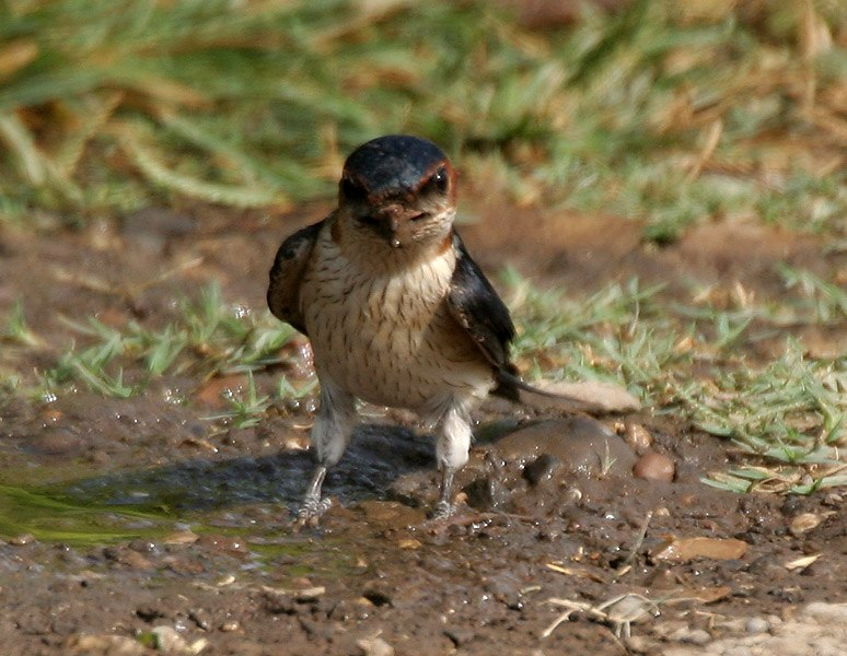 Red-rumped Swallow (Hirundo daurica) collecting mud for nest W IMG 7964