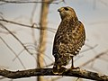 Red-shouldered Hawk-27527-2.jpg