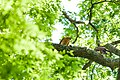 Red-shouldered hawk (19589097500).jpg