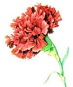 Red Carnation NGM XXXI p507.jpg