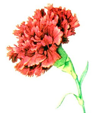 Kappa Kappa Psi - Red carnation