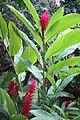 Red Ginger (Alpinia purpurata) (2665372745).jpg