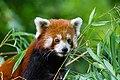 Red Panda (23648049588).jpg