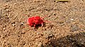 Red Velvet Mite (Trombidium sp.) (6032310253).jpg