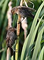 Red Winged Blackbird Fledglings On A Cattail (162039485).jpeg