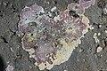 Red alga (40816542530).jpg