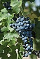Red grapes with the leaves.jpg