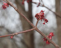 Red maple flowers close-2.jpg