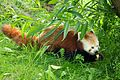 Red panda at Chester Zoo 7.jpg