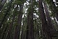 Redwood National and State Park - panoramio (1).jpg