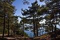 Relict pine forest near Divnomorskoe - panoramio.jpg