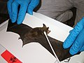 Researchers collect swab samples from a northern long-eared bat with visible symptoms of WNS (8509676777).jpg