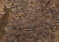 Resupinatus merulioides 32078.jpg