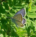 Reverdin's Blue^ Plebejus argyrognomon - Flickr - gailhampshire (1).jpg