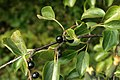 Rhamnus-cathartica-fruits.jpg