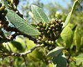 Rhamnus alaternus, blomknoppe, Meiringskloof, a.jpg