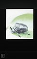 Rhinoceros beetle. Tarifa. April 1975 (37047629914).jpg