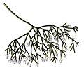 Rhipsalis cereuscula BlKakteenT27b.jpg