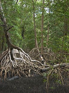 Rhizophora mangle-roots.jpg