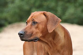 English: Rhodesian ridgeback head study Nederl...