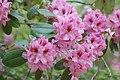 Rhododendron 'Ben Moseley' Flowers.JPG
